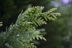 Thuja, greens, macro, struik, bokeh Royalty-vrije Stock Foto's