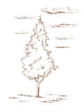 Thuja  - hand drawn. Stock Photos