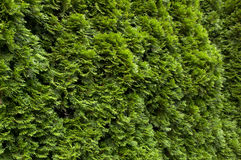 Thuja hedge Stock Images