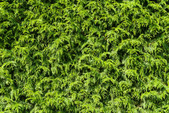 Thuja hedge Royalty Free Stock Image