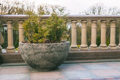 Thuja in hemispherical concrete pot Royalty Free Stock Images