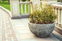 Thuja in hemispherical concrete pot Royalty Free Stock Image