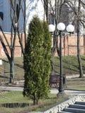 Thuja im Park Lizenzfreie Stockfotografie