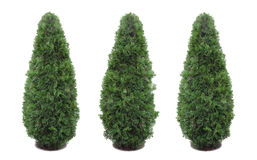 Thuja isolado, decorativo Foto de Stock