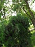 THUJA; KLASSE VON KONIFERENbäumen, FAMILIE; CUPRESSACEAE, KLASSE; MONOPHYLATIC Stockfoto