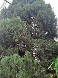 THUJA; KLASSE VON KONIFERENbäumen, FAMILIE; CUPRESSACEAE, KLASSE; MONOPHYLATIC Lizenzfreie Stockbilder