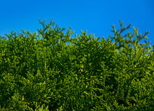 Thuja leaf on blue sky Royalty Free Stock Image