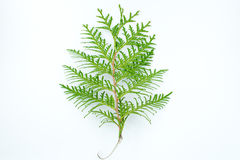 Thuja leaf on white background. Green thuja leaf on white background Stock Photography