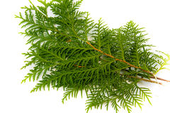Thuja leaf on white background. Green thuja leaf on white background Stock Image
