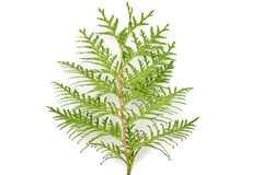 Thuja leaf on white background. Green thuja leaf on white background Stock Photos
