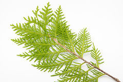 Thuja leaf on white background. Green thuja leaf on white background Royalty Free Stock Image