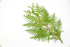 Thuja leaf on white background. Green thuja leaf on white background Royalty Free Stock Images