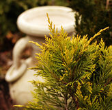 Thuja leaves. American arborvitae branches in the spring royalty free stock photography