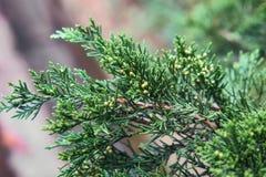 Thuja leaves arborvitae. Closeup of an evergreen thuja leaves arborvitae Royalty Free Stock Photos