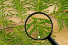 Thuja leaves through magnifying glass on wooden background. Green Thuja leaves through magnifying glass on wooden background Stock Photo