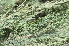 Thuja macro closeup. Healthy thuja branches and twigs green background with selective focus stock photo