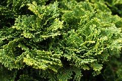 Thuja. Natural green background. Thuja arbor vitae. Natural green background Stock Photos