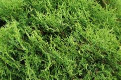 Thuja. Natural green background. Thuja (arbor vitae). Natural green background Stock Photo