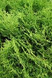 Thuja. Natural green background. Stock Image