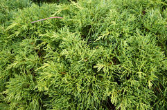 Thuja. Natural green background. Royalty Free Stock Photography
