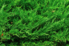 Thuja natural green background Stock Image