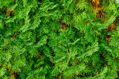 Thuja needles needles texture Royalty Free Stock Photos