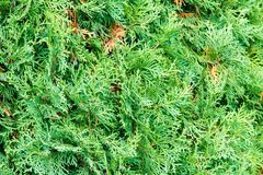 Thuja occidentalis, also known as northern white-cedar or easter royalty free stock photography