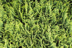 Thuja occidentalis background, texture. Thuja occidentalis is an evergreen coniferous tree, in the cypress family Cupressaceae, which is native to the northeast stock images