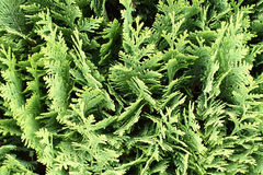 Thuja occidentalis background, texture. Thuja occidentalis is an evergreen coniferous tree, in the cypress family Cupressaceae, which is native to the northeast royalty free stock photography