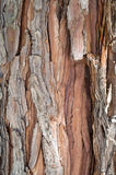 Thuja occidentalis bark Stock Photo