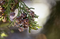 Thuja occidentalis cone close up green backround stock photography