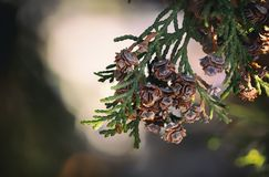 Thuja occidentalis cone close up green backround stock image