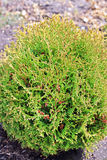 Thuja occidentalis Danica royalty free stock image