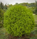 Thuja occidentalis Danica round shape Decorative garden. Thuja occidentalis Danica. Decorative garden shrub with a round shape Royalty Free Stock Image