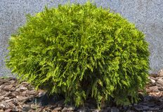 Thuja occidentalis Danica round shape Decorative garden. Thuja occidentalis Danica. Decorative garden shrub with a round shape Stock Image