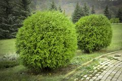 Thuja occidentalis Danica round shape Decorative garden. Thuja occidentalis Danica. Decorative garden shrub with a round shape Royalty Free Stock Images