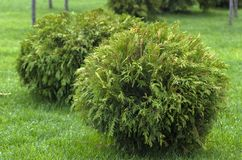 Thuja occidentalis Danica round shape Decorative garden. Thuja occidentalis Danica. Decorative garden shrub with a round shape Stock Photos