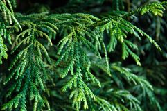 Thuja occidentalis, or eastern arborvitae Royalty Free Stock Photo