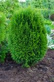 Thuja occidentalis is an evergreen coniferous tree. Evergreen conifers in landscape design in the botanical garden royalty free stock photography