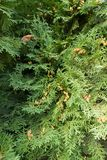 Thuja occidentalis foliage with seed cones. In autumn Royalty Free Stock Image