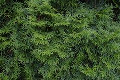 Thuja occidentalis Hintergrund ist ein immergrüner Koniferenbaum lizenzfreies stockfoto