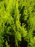 Thuja occidentalis leaves. Close-up of thuja occidentalis, in the sunlight Royalty Free Stock Image