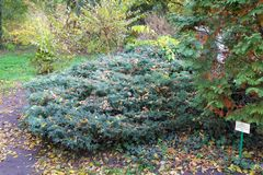 Thuja occidentalis northern white-cedar and Juniperus x-media `Pfitzeriana Glauca` at botanical garden. royalty free stock photos