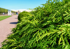 Thuja occidentalis. Ornamental shrubs in the Park. Beautiful green Bush, a plant in the Park royalty free stock images