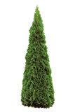 Thuja occidentalis 'Smaragd', Green American Arborvitae Occidental Smaragd Wintergreen, Large Detailed Isolated Pyramidal Cedar Royalty Free Stock Photo