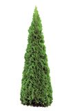 Thuja Occidentalis Smaragd, Warm Green American Ar Royalty Free Stock Image