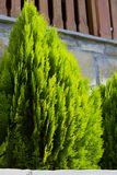Thuja occidentalis tree Stock Photo