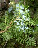 Thuja occidentalis, Tuia Royalty Free Stock Photo