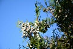 Thuja occidentalis, Tuia Stock Image