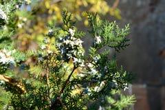 Thuja occidentalis, Tuia Stock Photo